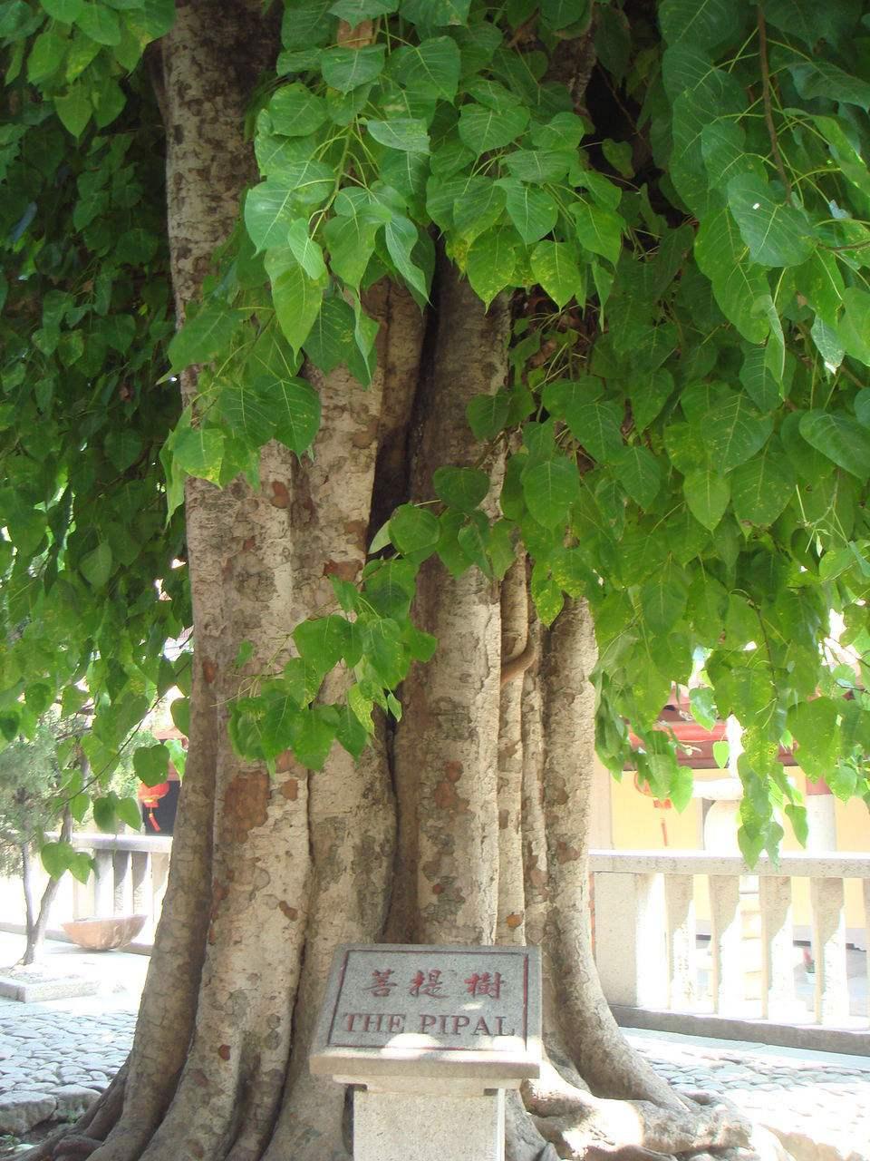 菩提树与佛陀有何因缘?